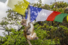 Monkey in the prayer flags Royalty Free Stock Photos
