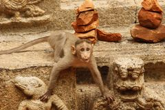 Monkey. Prefect pose clicked while visiting Tirupati Royalty Free Stock Photo