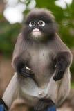 Monkey (presbytis obscura reid) Stock Images