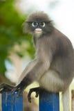 Monkey (presbytis obscura reid) Stock Image