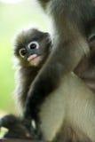 Monkey (presbytis obscura reid) Royalty Free Stock Image