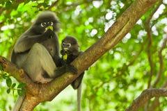 Monkey (presbytis obscura reid) Stock Photography