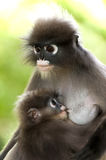 Monkey (presbytis obscura reid) Royalty Free Stock Photography