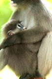 Monkey (presbytis obscura reid) Royalty Free Stock Photo