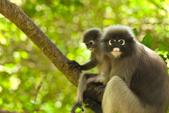 Monkey (presbytis obscura reid) Royalty Free Stock Photos