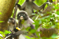 Monkey (presbytis obscura reid) Stock Photo