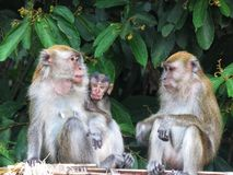 Monkey /Primate / Monkeys in the wild / Crab eating macaque. Monkey or troupe of monkeys in the wild. There are different species of monkeys which can be found royalty free stock image