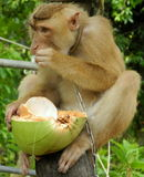 Monkey the prisoner. Monkey in Thailand -  coconut collector Stock Image