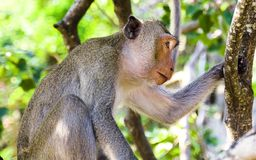 Monkey profile Royalty Free Stock Images