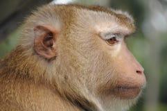 Monkey Profile. Profile of a Rhesus Monkey, Thailand Stock Image