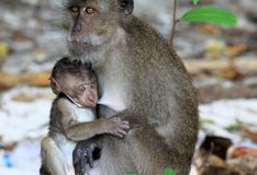 Monkey puppy crab-eating long-tailed Macaque, Macaca fascicularis teasing mother during breast-feed on Ko Phi Phi, Tailand royalty free stock photos