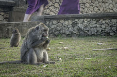 Monkey in Pura Luhur Uluwatu temple, Bali Stock Photo