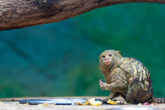 Monkey putting out the tongue Royalty Free Stock Photos