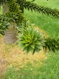 Monkey Puzzle. Plant, botanical gardens, Christchurch, New Zealand Royalty Free Stock Images
