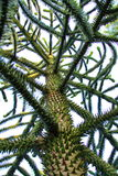 Monkey Puzzle tree Royalty Free Stock Image