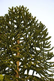 Monkey puzzle tree Royalty Free Stock Photos