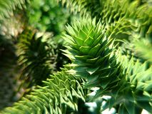 Monkey Puzzle Tree in Victoria, BC. Monkey Puzzle Tree, also known as Araucaria araucana Royalty Free Stock Images
