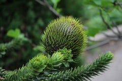 Monkey puzzle tree Araucaria araucaria royalty free stock photography