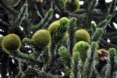 Monkey Puzzle Tree (araucaria). Closeup of Monkey Puzzle (pine) Tree with large and strange blossoms Stock Images
