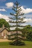 Monkey Puzzle Tree. Araucaria araucana  / Monkey Puzzle Tree Stock Photos