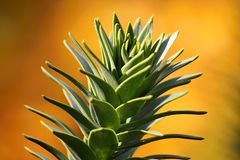 Monkey puzzle tree Royalty Free Stock Photography