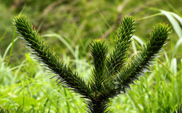 Monkey puzzle tree (Araucaria araucana) Stock Photo
