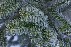 Monkey puzzle tree, Araucaria Araucana, close-up branch. Monkey puzzle tree, Araucaria Araucana, close up branch Royalty Free Stock Photo