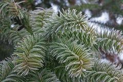 Monkey puzzle tree, Araucaria Araucana, close-up branch. Monkey puzzle tree, Araucaria Araucana, close up branch Stock Photography