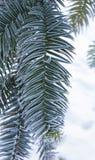 Monkey puzzle tree, Araucaria Araucana, close-up branch. Monkey puzzle tree, Araucaria Araucana, close up branch Stock Photo