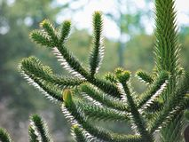 Monkey puzzle tree Araucaria araucana closeup. Monkey puzzle tree Araucaria araucana close-up Royalty Free Stock Image