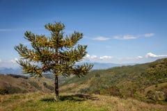 Monkey Puzzle Tree. Araucaria araucana tree in the countryside near Medellin-Colombia Royalty Free Stock Photo