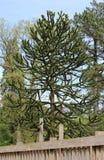 Monkey Puzzle Tree. A monkey puzzle tree (Araucaria araucana Stock Photo