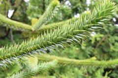 Araucaria araucaria Chilean pine tree. Monkey puzzle tree Araucaria araucaria in a garden Stock Image