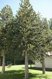 Monkey Puzzle Tree - Argentina. Monkey Puzzle Tree in Argentina Stock Photo