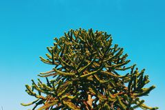 Monkey puzzle tree on blue sky Stock Photography