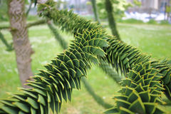 Monkey Puzzle Tree Branch. The branch from a Araucaria Araucana, commonly called the Monkey Puzzle Tree Royalty Free Stock Image