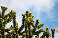 Monkey puzzle tree branches. On a blue sky background, space for text stock image