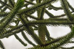 Monkey Puzzle Tree branches. Branches and spikey leaves of a monkey puzzle tree, latin name Araucaria araucana against a grey and overcast sky Stock Image
