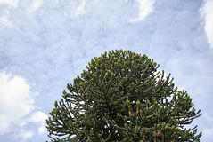 Monkey puzzle tree. Cloudy sky with a monkey puzzle tree Stock Photo