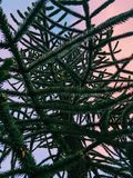 Monkey Puzzle Tree at Sunset. Artsy abstract-looking Monkey Puzzle Tree, Araucaria Araucana, from frog`s perspective. The tree was captured against the sky Royalty Free Stock Image