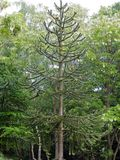 Monkey Puzzle Tree. Or Chilean pine Royalty Free Stock Photos