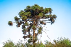 Monkey puzzle tree. On the sky background Royalty Free Stock Photography