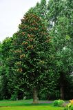 Monkey Puzzle tree. A monkey puzzle tree with new growth Royalty Free Stock Photography