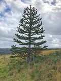 Monkey Puzzle Tree in paddock Royalty Free Stock Photo