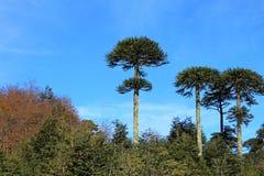 Monkey puzzle tree, Patagonia, Chile. South America Stock Photo