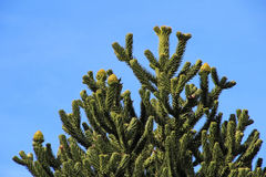 Monkey puzzle tree, Patagonia, Chile. South America Stock Photos