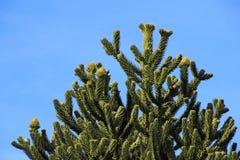 Monkey puzzle tree, Patagonia, Chile Stock Photos