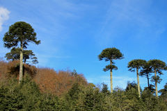 Monkey puzzle tree, Patagonia, Chile. South America Royalty Free Stock Photo