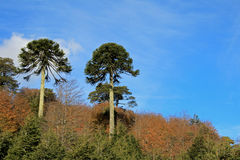 Monkey puzzle tree, Patagonia, Chile. South America Stock Images