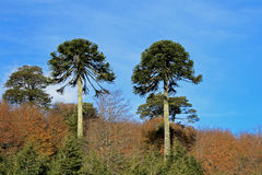 Monkey puzzle tree, Patagonia, Chile. South America Royalty Free Stock Image